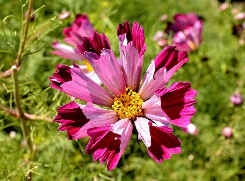 Chelsea Physic Garden Flowers DSC_6682