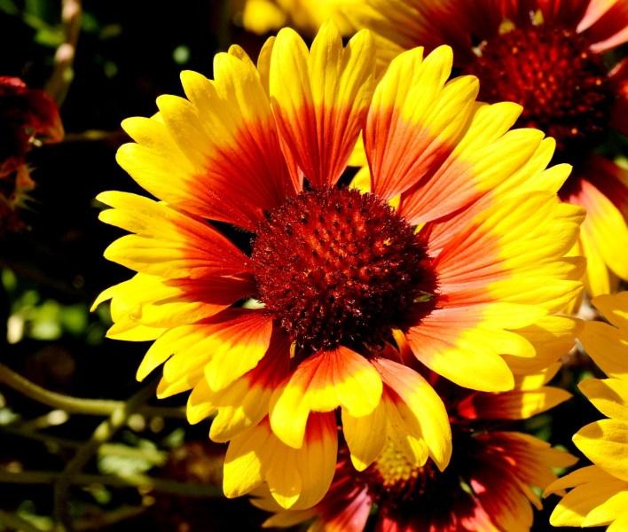 Chelsea Physic Garden Flowers Helienthus Annuus Ring of Fire Sunflower