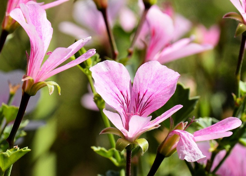Chelsea Physic Garden Flowers Pelargonium Copthorne DSC_6588