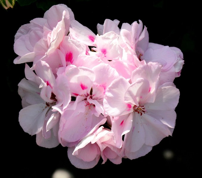 Chelsea Physic Garden Flowers Pelargonium Milfield Gem DSC_6747