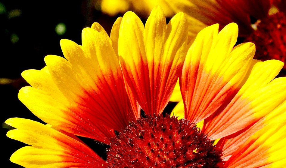 chelsea-physic-garden-flowers-helienthus-annuus-dsc_6662