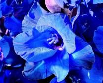 brighten-the-day-blue-wisley-flower-dsc_0175-sharpened-cropped