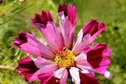 brighten-the-day-chelsea-physic-garden-flowers-dsc_6682-sharpened-centre