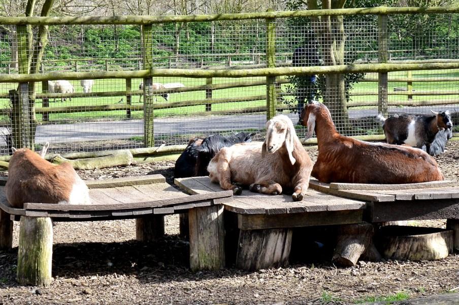 mudchute city farm goats
