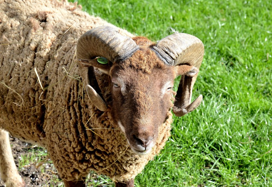 mudchute city farm woodland sheep
