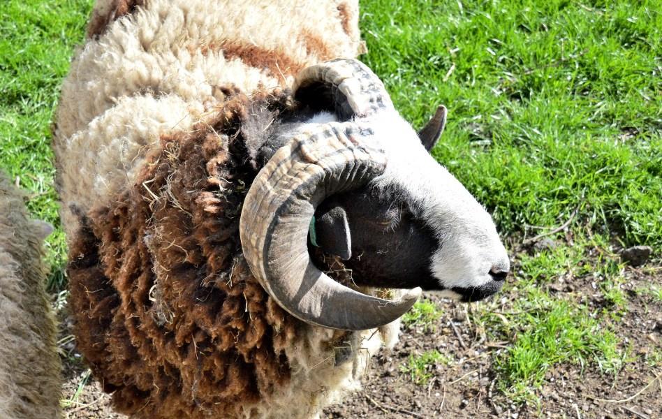 mudchute city farm white faced sheep