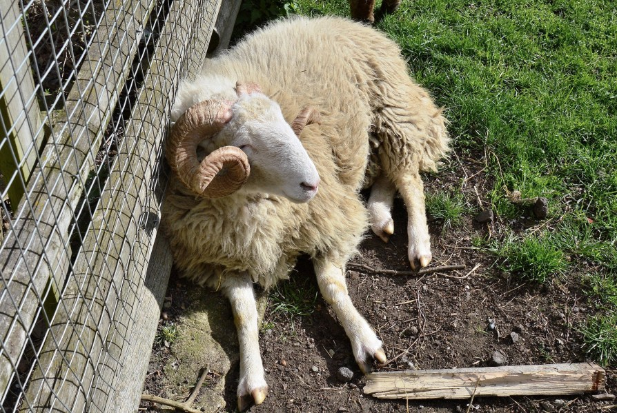 mudchute city farm sheep