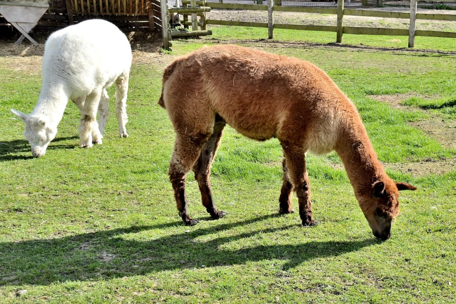 mudchute city farm llamas or alpacas