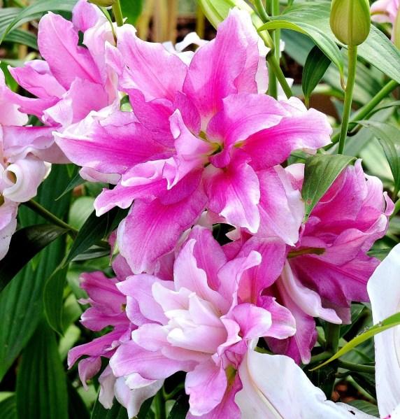 wisley-flowers-dsc_0140